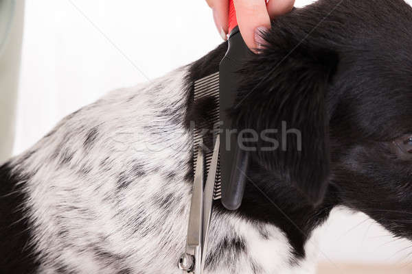 Stock photo: Close-up Of Woman Cutting Hair Of Her Dog