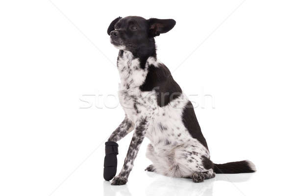 Portrait Of A Dog With Injured Paw Stock photo © AndreyPopov