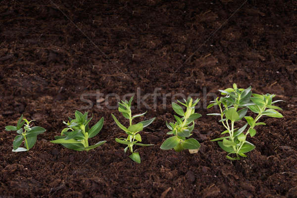 Green saplings representing new business Stock photo © AndreyPopov