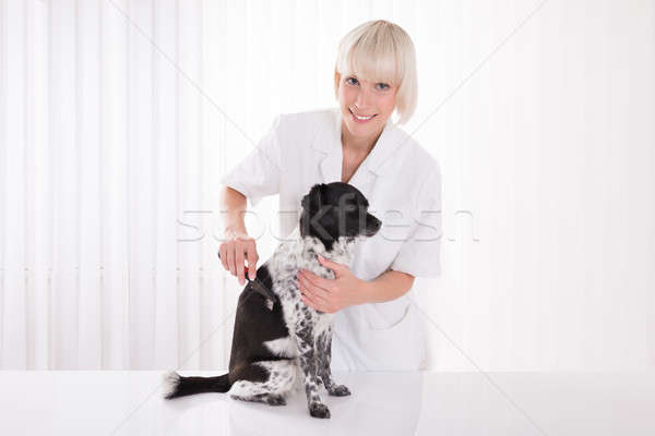Female Vet Grooming Dog's Hair Stock photo © AndreyPopov