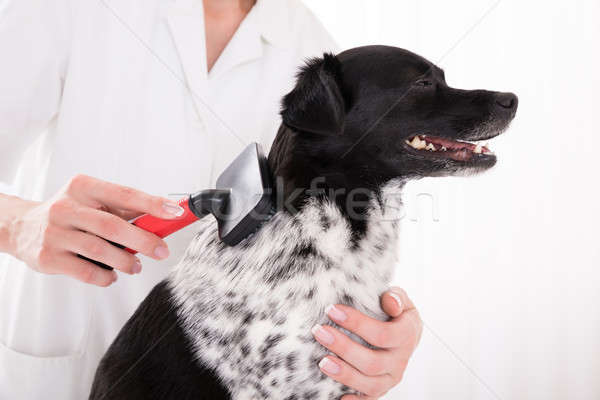 Vet Grooming Dog's Hair Stock photo © AndreyPopov