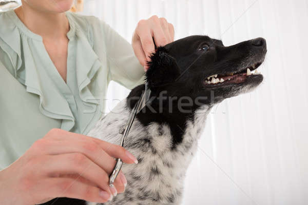Stock photo: Woman Cutting Hair Of Dog