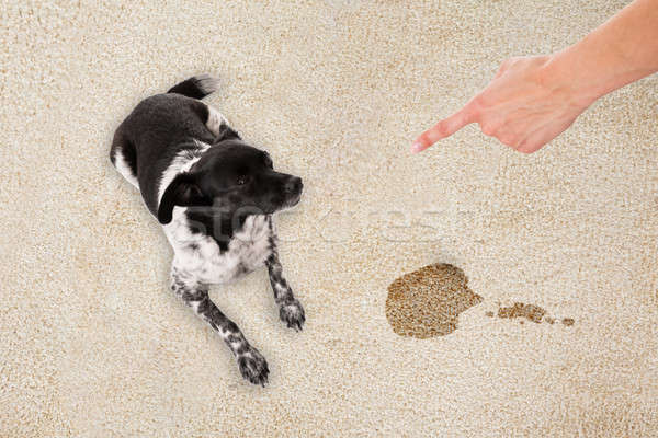 Hand Pointing Toward The Dog Sitting On Dirty Carpet Stock photo © AndreyPopov
