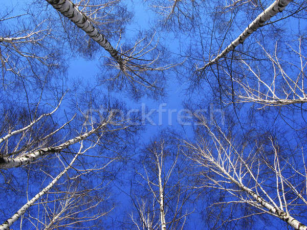 Tops of  tree of  birch Stock photo © Andriy-Solovyov