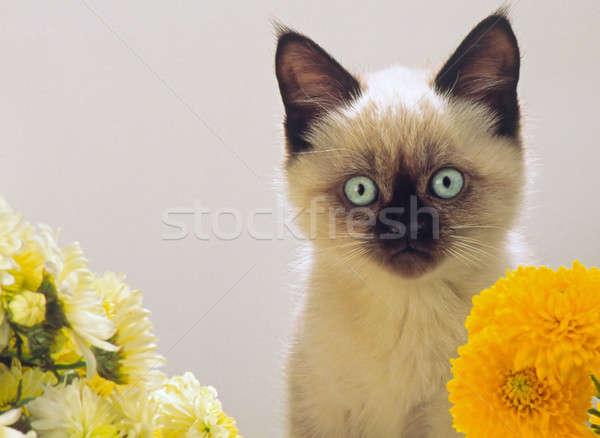 burmese kitten looks Stock photo © Andriy-Solovyov