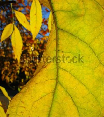 Yeşillik sarı akçaağaç yaprağı doku ağaç Stok fotoğraf © Andriy-Solovyov