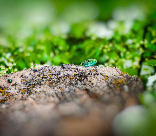 トカゲ 緑 花崗岩 石 春 シーズン ストックフォト © Andriy-Solovyov