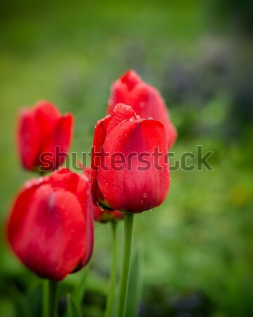 tulips Stock photo © Andriy-Solovyov