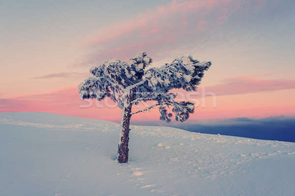lone pine tree Stock photo © Andriy-Solovyov