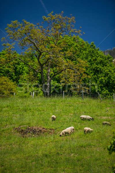 Ovelha montanha distrito verde montanhas Foto stock © Andriy-Solovyov