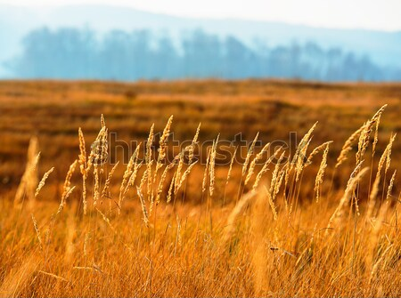 dry grass Stock photo © Andriy-Solovyov