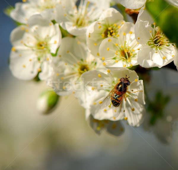 Florescimento ameixa flores jardim inseto Foto stock © Andriy-Solovyov