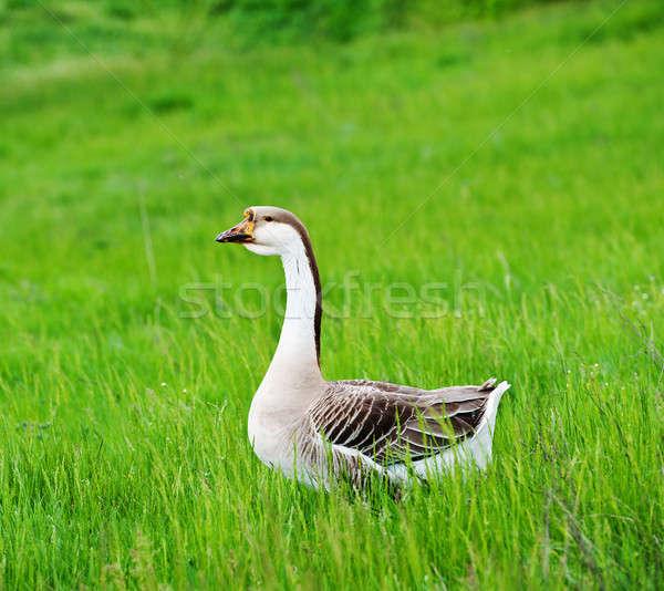 Ganso uno nacional verde pradera primavera Foto stock © Andriy-Solovyov