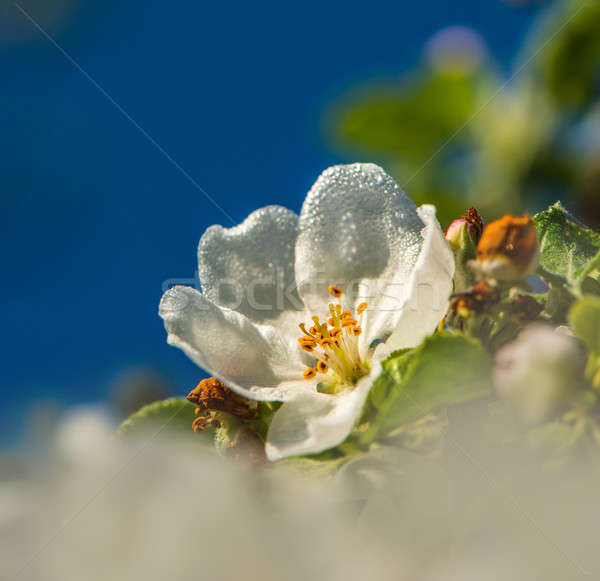 Foto stock: Flor · belo · maçã · ensolarado · manhã · primavera