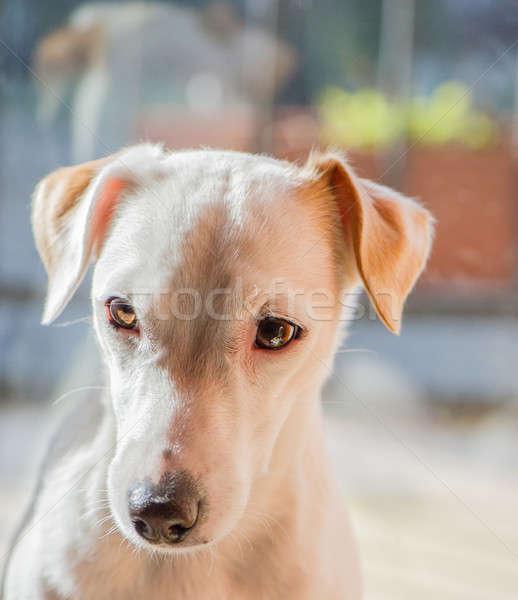犬 肖像 犬 ジャックラッセルテリア ルーム 顔 ストックフォト © Andriy-Solovyov