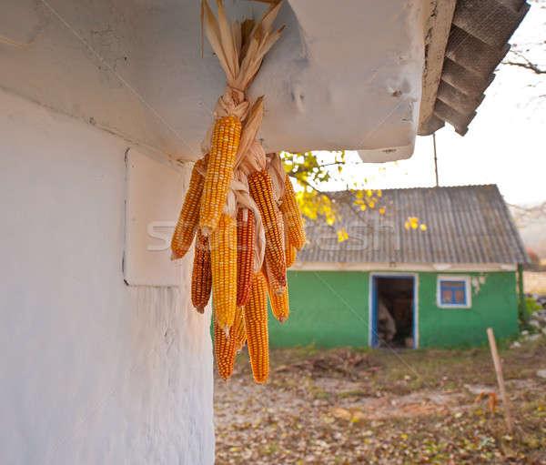 linking of corn Stock photo © Andriy-Solovyov