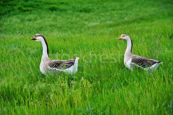 Iç kaz çift yeşil çayır bahar Stok fotoğraf © Andriy-Solovyov