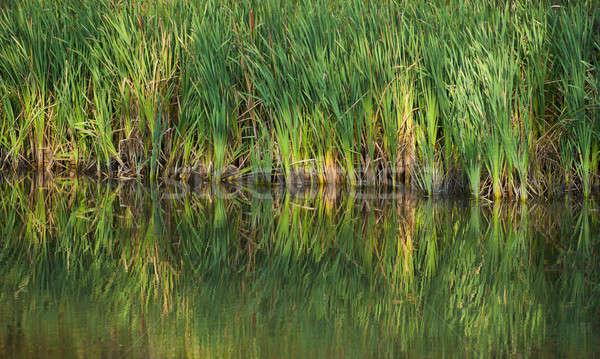 green reeds Stock photo © Andriy-Solovyov