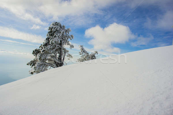 snow and pine trees Stock photo © Andriy-Solovyov