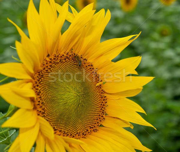Napraforgó méh fényes virág mező gyűjt Stock fotó © Andriy-Solovyov
