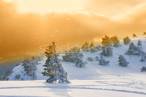 pine trees and snow blizzard Stock photo © Andriy-Solovyov