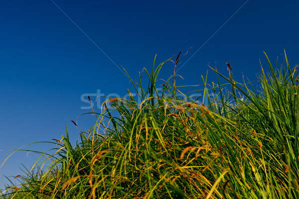 stalks of a green cane and sky Stock photo © Andriy-Solovyov
