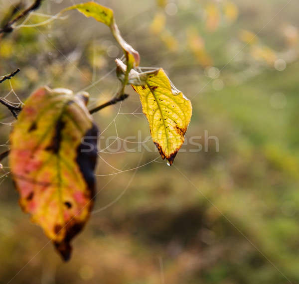cobweb Stock photo © Andriy-Solovyov