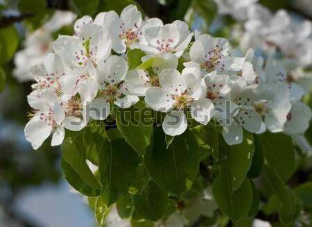 pear flowering Stock photo © Andriy-Solovyov