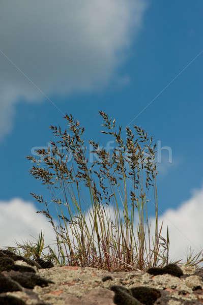 grass stalks Stock photo © Andriy-Solovyov