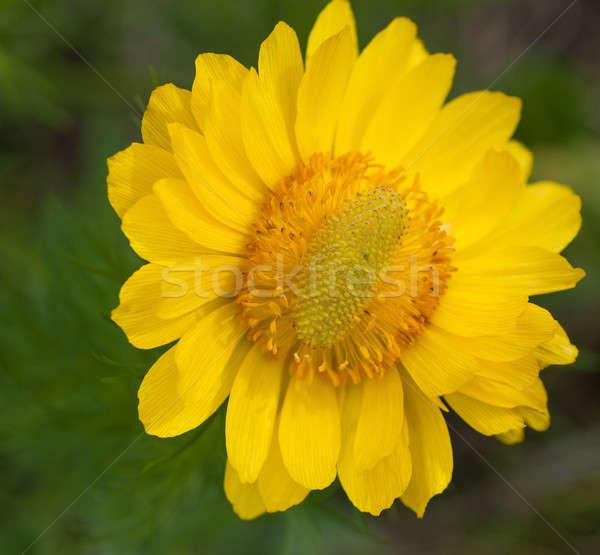 flower Stock photo © Andriy-Solovyov