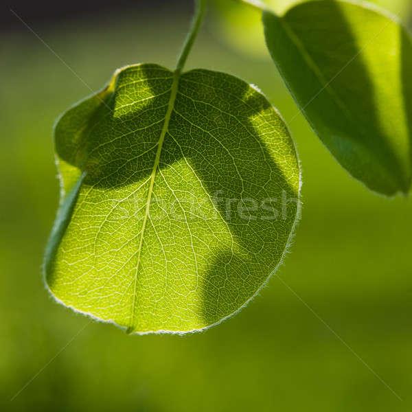 Pereira verde brilhante Foto stock © Andriy-Solovyov