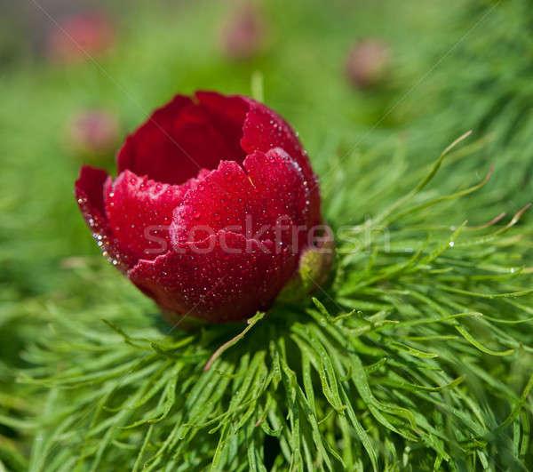 peony flower Stock photo © Andriy-Solovyov