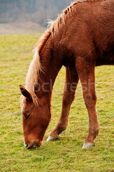 Horse on a pasture  Stock photo © Andriy-Solovyov