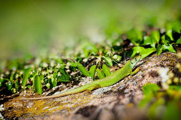 Kertenkele yeşil granit taş bahar sezon Stok fotoğraf © Andriy-Solovyov