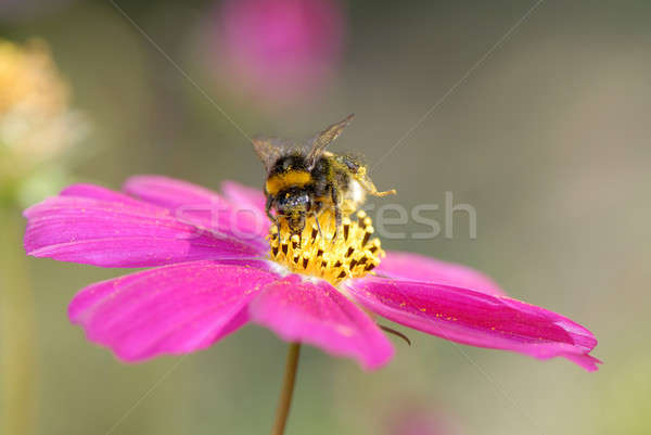 bumblebee and flower Stock photo © Andriy-Solovyov