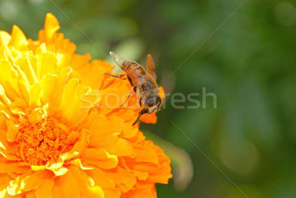 Virág méh gyűjt virágpor nektár természet Stock fotó © Andriy-Solovyov
