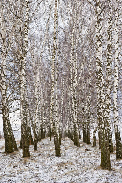 birch trees and snow Stock photo © Andriy-Solovyov