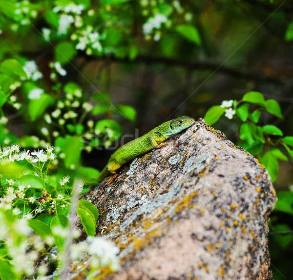 Stockfoto: Hagedis · groene · graniet · steen · voorjaar · seizoen