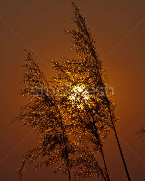 cane and sun Stock photo © Andriy-Solovyov