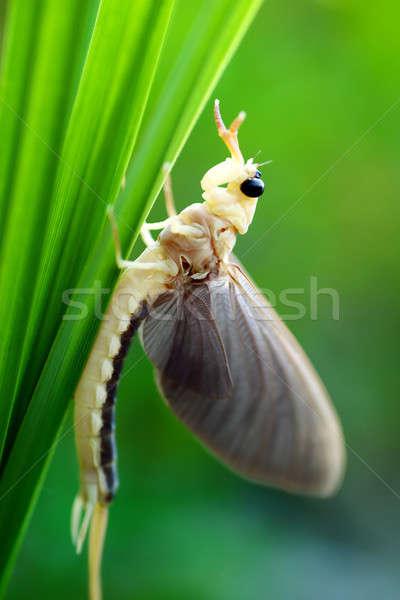 Mayfly Stock photo © Anettphoto