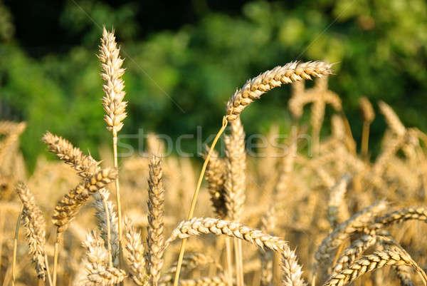 麦畑 自然 小麦 準備 収穫 ストックフォト © Anettphoto