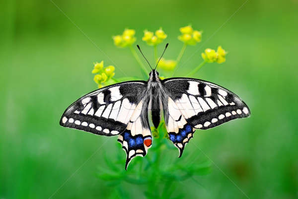 Eastern Tiger Swallowtail Stock photo © Anettphoto