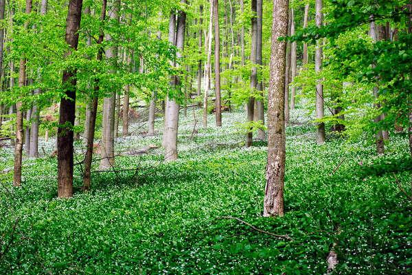 Foresta selvatico aglio fiori verde bianco Foto d'archivio © Anettphoto