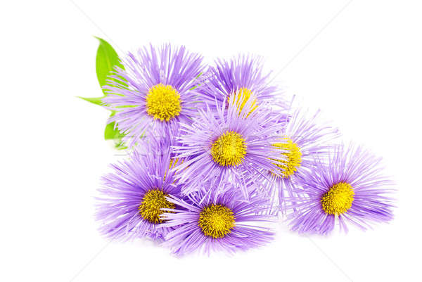 Purple spring flower over white Stock photo © Anettphoto