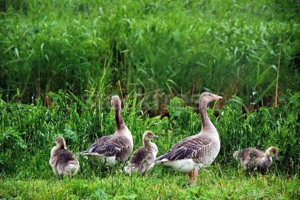 Kaz aile ayakta çim kuş yürüyüş Stok fotoğraf © Anettphoto