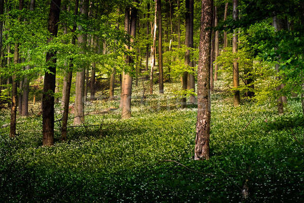 Forest with wild garlic flowers Stock photo © Anettphoto