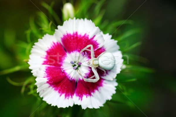 Granchio spider fiore attesa garofano estate Foto d'archivio © Anettphoto