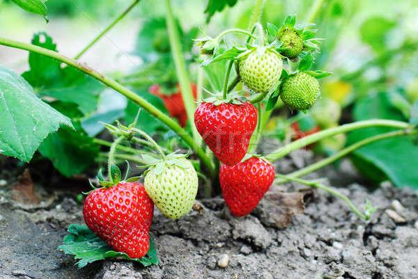 Eper növények érett háttér farm piros Stock fotó © Anettphoto