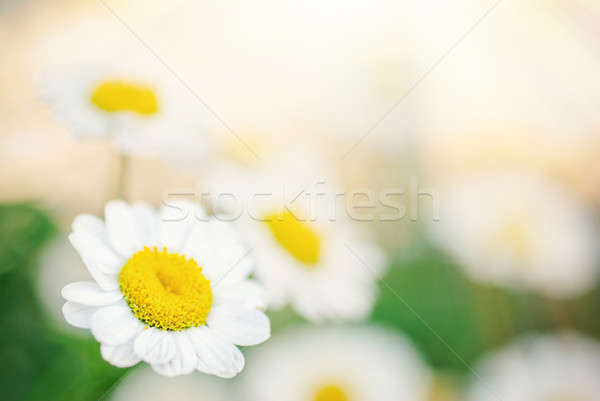 Little daisy flowers Stock photo © Anettphoto