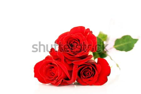 Vörös rózsák fehér három izolált szeretet természet Stock fotó © Anettphoto